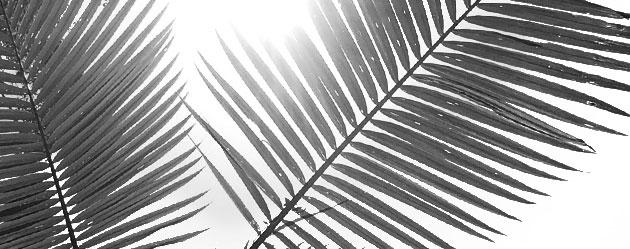palmera australiana